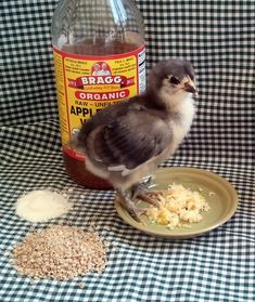 Basic Baby Chick Care - A bit of apple cider vinegar, such as Bragg, splashed in their water and some probiotic powder in their feed can also help combat intestinal problems in chicks.  Probiotics are thought to guard against coccidia as well.  Fresh minced garlic will give their immune systems a nice boost.