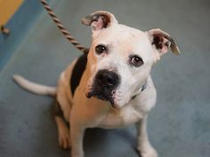 SAFE 12/29/14 --- TO BE DESTROYED 12/27/14 Brooklyn Center **  My name is REX. My Animal ID # is A1023651. I am a male white and br brindle amer bulldog mix. The shelter thinks I am about 5 YEARS old.  I came in the shelter as a STRAY on 12/20/2014 from NY 11434, owner surrender reason stated was STRAY. I came in with Group/Litter https://www.facebook.com/photo.php?fbid=929291827083697