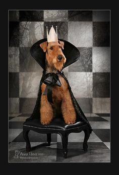 """""""King of the Terriers"""""""