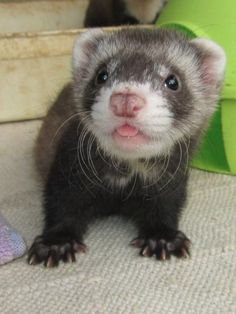 picture of a cute baby ferret with its tongue sticking out