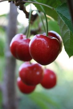 Cold Hardy Cherry Trees: Suitable Cherry Trees For Zone 3 Gardens Growing Cherry Trees, Growing Tree, Dwarf Cherry Tree, Fast Growing, Lemon Lime Nandina, Sweet Potato Plant, Plant Zones, Potato Vines, Fall Planters