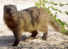 Herpestes ichneumon The Egyptian mongoose, also known as the ichneumon, is a species of mongoose. It may be a reservoir host for visceral leishmaniasis in Sudan. Wikipedia Scientific name: Herpestes ichneumon Higher classification: Herpestes Rank: Species