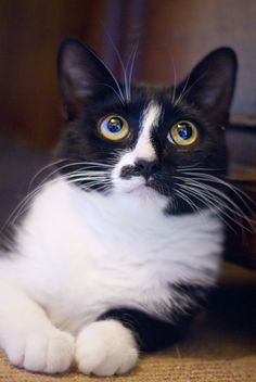 Beatrice - Black and White - Domestic Shorthair ~3 yrs old Beatrice came to our care after we were contacted by the dog warden in our area, with 5, 2 day old, babies to care for. Beatrice is very loving, trusting and affectionate and steals your heart very quickly.