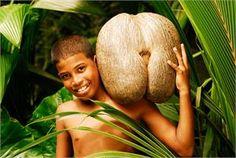 Coco de Mer. Seychelles.