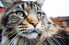 What a gorgeous face. Magnificent cat!