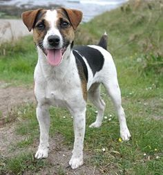 parson jack russell terriers