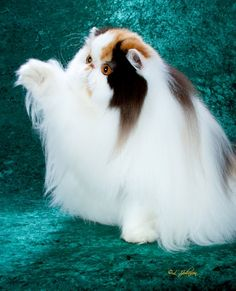 Hairy Pussy (cat)