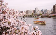 How to enjoy hanami – cherry blossom viewing – in Japan. #Tokyo #travel
