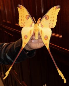 Comet moth - it's bigger than the hand holding it!