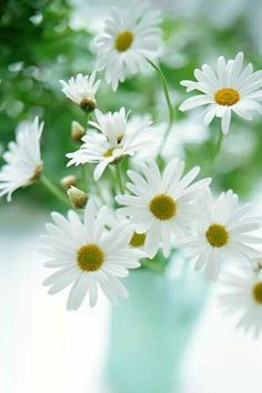 Little baby daisy collected Happy Flowers, My Flower, Fresh Flowers, Beautiful Flowers, Beautiful Pictures, Cut Flowers, White Flowers, Daisy Drawing, Daisy Love