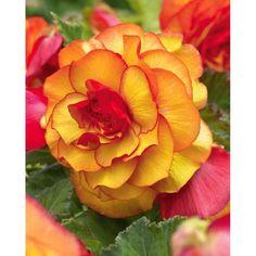 Begonia 'Picotee' yellow/red via cdiscount.com