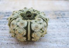 Green Sputnik Sea Urchins 4 pcs. by seashellmart on Etsy, $4.00