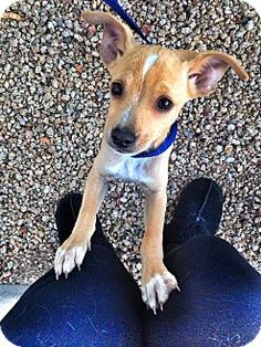 Chiheeler. chihuahua/blue heeler mix. 3 months old and