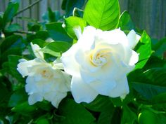 White Gardenia -- this smell is an instant memory trigger. I want a plant of my own.