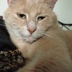 MR KITTY - Mr. Kitty Large orange/yellow male cat. Please call 405-312-3365 if found    His name is Mr. Kitty. 8 year old, neutered male. One brown wisker. Last seen  At 4th & Patterson before 5/20 tornado. He had a purple flea collar on.