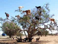 """Dubai — The Tree Goats of Morocco. A Truly Incredible Natural Phenomena!!! Goats on trees are found mostly only in Morocco. The goats climb them because they like to eat the fruit of the argan tree, which is similar to an olive. And before you start yelling """"It's photoshopped!"""" Google it ;) Did you know goats could climb trees? ♥ REPIN, LIKE, COMMENT & SHARE! ♥"""
