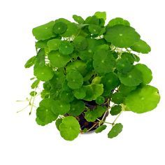 Hydrocotyle verticillata | whorled pennywort | apparently this is a weed? But it's adorable! #plantwishlist