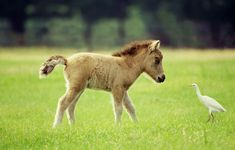 Baby Mini Horse with Little White Bird.