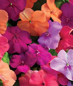"Impatiens, Candy Box - The most intense colors all come together in our latest mix, with a surprise twist of just the right touch of pretty pastels. The final effect is pure eye candy. Huge, full, 2"" blooms arrive early and stay all season on vigorous plants."