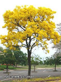 TABEBUIA ALBA (ipê-amarelo). Grande porte.  Nativa, decídua, com floração no final do inverno.  Chega a 30m de altura.  Climas: tropical, subtropical úmido, subtropical de altitude e temperado.  Boa para recomposição de mata ciliar