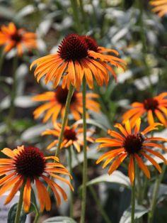 Echinacea purpurea 'Flame Thrower' - Rode zonnehoed Unusual Flowers, Beautiful Flowers, Drought Tolerant Garden, Hillside Garden, Best Perennials, Flower Quilts, Garden Fountains, Flower Farm, Dream Garden