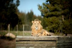 #majestic #lion #lionpark #capetown