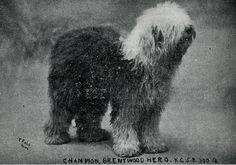 1912 Old English Sheepdog