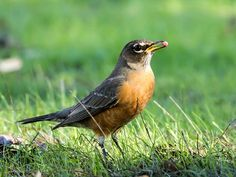 "Photo: This robin says, ""Let's eat!"""