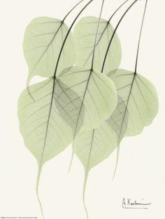 Cascading Bo Tree Print by Albert Koetsier at Art.com