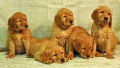 Red American Golden Retrievers from White Oak Golden Retrievers