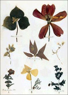Emily Dickinson's Herbarium