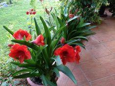Az igen mutatós amarillisz a büszkeség, az eltökéltség és a sugárzó szépség szimbóluma. Magnolia, Amarillis, Cactus, Aloe, Nature, Outdoor, Gardening, Beautiful Flowers, Succulents