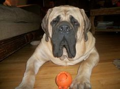 mastiff puppies | Alvin is a mastiff puppy, a sweet, sweet baby!! He was born in ...