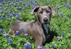 Texas State Dog | State Dog of Texas, with the State Flow Pictures, Blue Lacy, State Dog ...