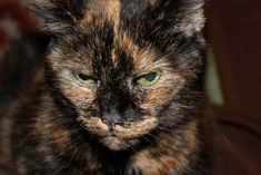 Because male torties and calicos are so rare, they have a fascinating history in terms of folklore, superstitions and good luck omens. Description from cat-behavior-explained.com. I searched for this on bing.com/images