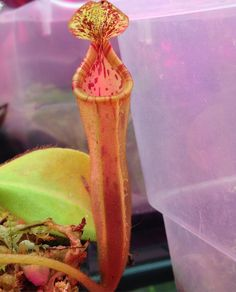 Love this one! #nepenthes #nepentheschaniana x #nepenthesveitchii that lid is so awesome !!! #tropical #tropicalpitcherplant #pitcherplants #carnivorous #carnivorousplant #carnivorousplants #carnivoroustagram #carnivorousplantsofinstagram #bugsbeware #dontfallin #savageplants #nature #amazing #beautiful #grow #green #plantnerd #nofilter by kgrizzlefoshizzle