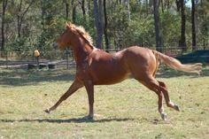 Horse stock - galloping 2 by Chunga-Stock