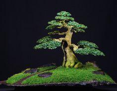 bonsai - Google-søgning