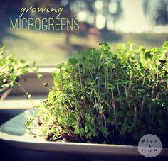 grow microgreens in a windowsill during winter