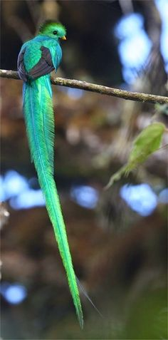 Beautiful birds - resplendent quetzal | Beautiful incandescent green and blue long tail feather bird
