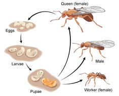 Ant Identification - How To Identify Ants - Ant Anatomy