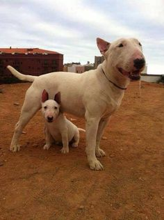 Bull terrier! My best neighbours have a boy pup & he is Amazing!!! Super Dog - and a lovey!!