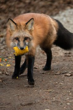 So YOU took the corn! Red Fox by Monty Sloan