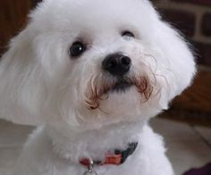 This isn't Chloe (my dog), but it's a bichon, just like her. I love these precious animals.