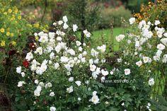 Anemone hybrida 'Honorine Jobert' schaduw 1 meter aug-okt