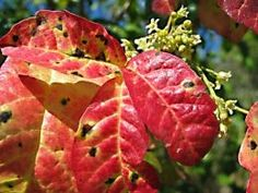 Western Poison Oak , Be sure that you know exactly what poison ivy, poison oak, and poison sumac look like. It's very important that you can look at the plant or plants and know what plant to avoid. Plus you should know all the effective methods of treating the itch from these plants.