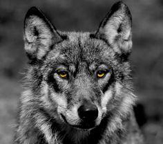wolf   Wolf Print - Email, Fotos, Telefonnummern zu Wolf Print