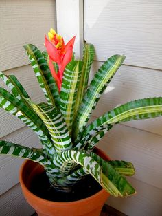 bromelaids | THE WONDERFUL WORLD OF BROMELIADS | Central Texas Gardening