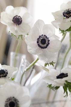 Anemone The Bride per 40 - (). Anemone The Bride The gorgeously coloured De Caen anemones are well-known cut-flowers, sometimes called Florist Anemones and available almost all the year round. White Anemone, Anemone Flower, White Flowers, Beautiful Flowers, Daffodils, Pansies, Buddha Flower, Flower Names, New Energy