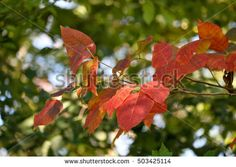 Branch of fall colored leaves against a background of still green woods and blue sky bokeh.